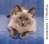 Cute Colorpoint Blue Eyed Cat...