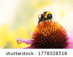 Bumblebee   On The Cone Of A...