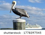 Pelican With Cruise Ship In...