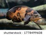 Aquarium Fish Astronotus Eye...