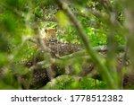 Leopard in green vegetation. Hidden Sri Lankan leopard, Panthera pardus kotiya, Big spotted wild cat lying on the tree in the nature habitat, Yala national park, Sri Lanka. Widlife scene from nature.