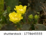 Two Yellow Cactus With Green...
