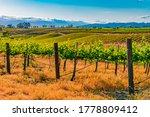 Bright Green Vineyards Grow On...