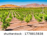 The San Joaquin Valley covers a huge part of Central California, and is the heart of  agriculture in California. Young orange trees grow in one of the orchards in the valley, near Clovis and Fresno.