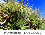 Beautiful Green Aloe Plants...