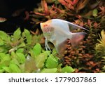 Albino Freshwater Angelfish Is...