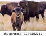 Baby Calf Bison Cute Adorable...