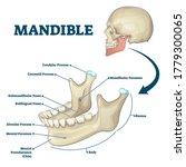 mandible jaw bone labeled... | Shutterstock .eps vector #1779300065