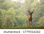 Large White Tailed Deer Buck...
