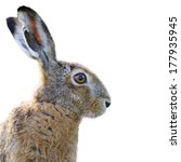 Stock photo portrait of a brown hare isolated on white 177935945