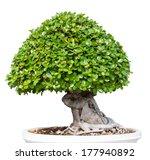 bonsai tree isolated on white... | Shutterstock . vector #177940892