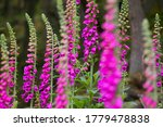 Group Of Purple Foxgloves ...