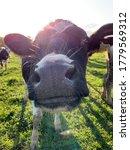 Nosey Heifer Sunshine And...