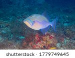 Queen Triggerfish Or Old Wife ...