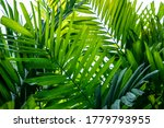 Macarthur palm leaves(Ptychosperma macarthurii)Tropical leaf texture in garden,abstract nature green background.