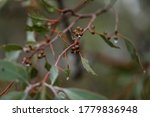 Australian Gum Tree Leaves And...