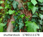 Common Ivy Leaves On Wooden...