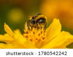 Close Up Of A Bumblebee On...