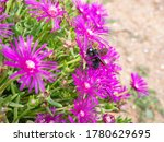 Great Carpenter Bumblebee ...