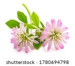 Trifolium Resupinatum  Reverse...