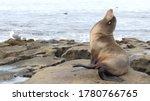 Sea Lion On The Rock In La...
