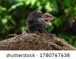 Frilled lizard perched on branch