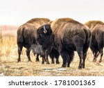 An American Bison's Breath...