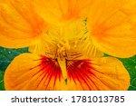 Yellow Nasturtium Edible Flower ...