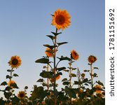 sunflowers on the field at... | Shutterstock . vector #1781151692