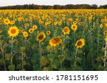 sunflowers on the field at... | Shutterstock . vector #1781151695