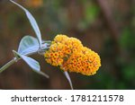 Yellow Flower Called Buddleja X ...