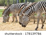 Group Of Zebra Grazing On Dry...