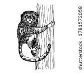 Pygmy Marmoset Monkey Sitting...