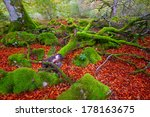Stock photo autumn selva de irati fall beech jungle in navarra pyrenees of spain 178163675