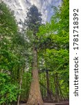 Small photo of With a girth of 6.8 m and a height of 53 m, one of the tallest Silver Firs in Germany, the 500 - 700 Years old Waldhaustanne is the strongest tree in the Bavarian Forest