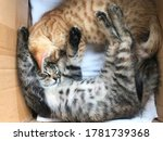 Small photo of Pock and red tabby cute little kittens sleep in a cardboard box
