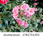 beautiful pink rose flower and... | Shutterstock . vector #1781751392