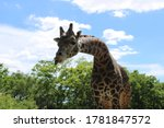Giraffe Tongue   Pittsburgh ...