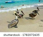 Pelicans  Pelecanus  Feel Great ...