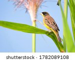The black headed bunting is a...