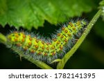 Emperor moth caterpillar ...