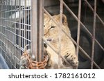 Lion Cub In A Cage. The Lion Is ...