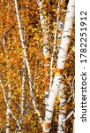 Autumn Birch Trees With Yellow...