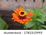 Close up of an orange zinnia flower in Janesville, Wisconsin, USA