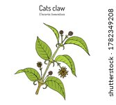 Cat\'s Claw  Uncaria Tomentosa ...