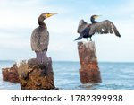 Two Black Cormorants Sit On The ...