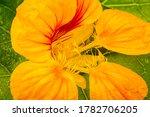 Orange Yellow Nasturtium ...