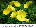 Close Up Yellow Oenothera...