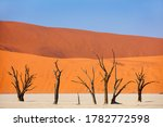 Dried Out Camelthorn Trees...