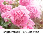 Pink Peony Flowers In Summer...